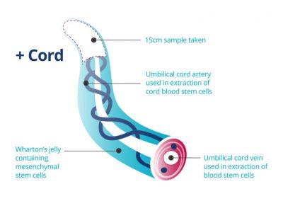 cord-tissue[1]